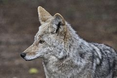 Wild Timber wolf Stock Photo