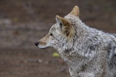 Wild Timber wolf Royalty Free Stock Image