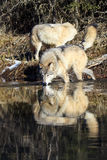Wild timber wolves drinking water. By stream royalty free stock images