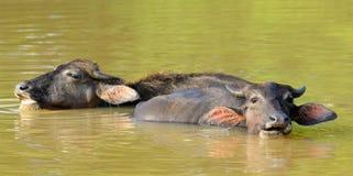 Wild tjurar i laken. arkivbilder