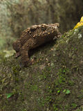Wild toad Stock Photography
