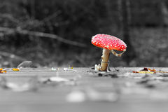 Wild toadstool isolated in color Royalty Free Stock Photography