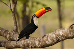 Wild Toco Toucan with Food in Beak. A brightly colored toco toucan has picked up a little piece of kibble and holds it in its beak before eating stock photography