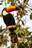 Wild Toco Toucan Looking over Shoulder Stock Images