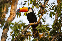 Wild Toco Toucan surrounded by Branches, in Morning Light Stock Image
