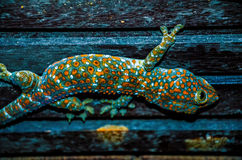 Wild Tokay Gecko on ceiling at night, Koh Kood. Thailand. Wild Tokay Gecko on ceiling at night, Koh Kood.Thailand Royalty Free Stock Photography