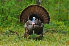 Wild Tom 1. Image of an Eastern Wild Turkey in full strut Stock Image