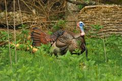 Wild Tom 3. Image of an Eastern Wild Turkey in natural setting Royalty Free Stock Photos