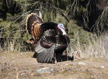 Wild Tom Turkey Royalty-vrije Stock Foto