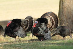 Wild Tom Turkey Stock Foto