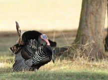 Wild Tom Turkey Stock Afbeelding