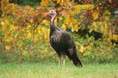 Wild tom turkey Stock Image
