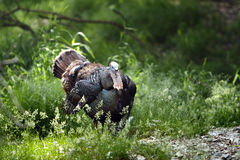 Wild tom Turkey. Wild Turkey in upstate Wisconsin. He does not like Thanksgiving or Christmas very much Stock Photo