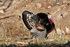 Wild Tom Turkey Displaying for nearby hens. Wild Merriam Tom Turkey strutting and displaying for nearby Hens in the spring mating season Stock Photo