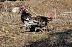 Wild Tom Turkeys Feeding royalty-vrije stock foto's