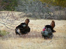 3 wild tom turkeys strutting through field. Tom turkeys with glossy feathers puffed out, tail fans partially extended, beards showing, red wattle visible all stock image