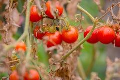 Wild Tomato, Love Apple Stock Photo