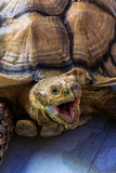 Wild Tortoise. Close-up of a tortoise looking ferocius with the beak wide open Stock Photos