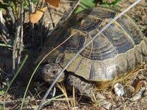 Wild tortoise on the coast near Antalya Stock Photo