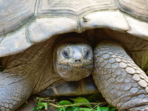 Wild tortoise in nature Royalty Free Stock Photography