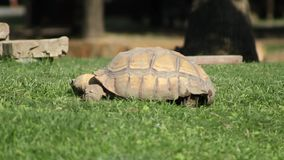 A wild tortoise eating green grass. A wild tortoise in the nature eating green grass beacause is hungry stock video footage