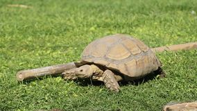 A wild tortoise regret eating too much grass. A wild tortoise in the nature eating green grass and then realized he maybe had do a mistake stock footage