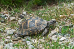 Wild tortoise walking Stock Image