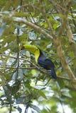 Wild toucan Stock Image
