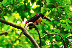 Wild Toucan, Guatemala. A colorful Toucan in Tikal National Park, Guatemala Royalty Free Stock Photo