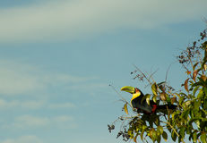 Wild Toucan in Natural Habitat. Eating small berries royalty free stock photos