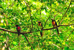 Wild Toucans, Guatemala. Colorful Toucans in Tikal National Park, Guatemala Royalty Free Stock Photos