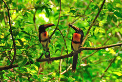 Wild Toucans, Guatemala. Colorful Toucans in Tikal National Park, Guatemala Royalty Free Stock Image