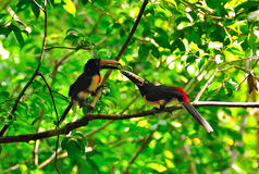 Wild Toucans, Guatemala. Colorful Toucans in Tikal National Park, Guatemala Stock Photography
