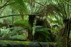 Wild tree-fern forest Stock Photos