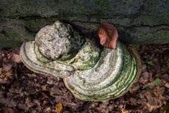 Tree Mushroom Funghi Cluster. Wild Tree Mushroom Funghi Cluster royalty free stock photography