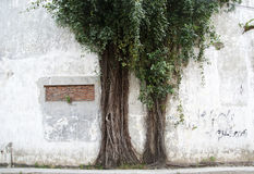Wild tree, and wild roots growing trough the wall royalty free stock photos