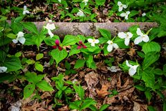 Wild Trillium In The Forest. Trillium line the forest floor of a Great Lakes coastal habitat. Trillium are the official wildflower of Ontario and Ohio. Certain Royalty Free Stock Image