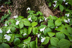 Wild Trillium In The Forest. Trillium line the forest floor of a Great Lakes coastal habitat. Trillium are the official wildflower of Ontario and Ohio. Certain Stock Image