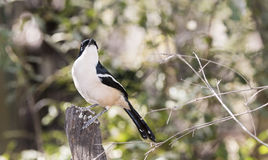 Wild Tropical Boubou (Laniarius major) Perched on a Dead Tree Stock Image