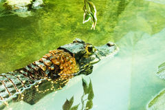 Wild tropical exotic animal crocodile swimming in water which has colorful skin natural outdoor concept. Photo Royalty Free Stock Images