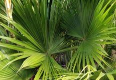 Wild Tropical Ferns Background. Wild Tropical Ferns make a jungle background stock photo