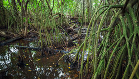 Wild tropical forest landscape with mangrove trees Royalty Free Stock Images