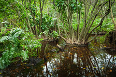Wild tropical forest landscape with mangrove trees Stock Image