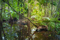 Wild tropical forest landscape with mangrove trees Royalty Free Stock Photos