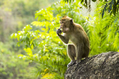 Wild tropical monkey eating Stock Photo