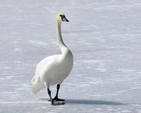 Wild Trumpeter Swan with its distinctive black beak walks across frozen snow covered pond Royalty Free Stock Photography