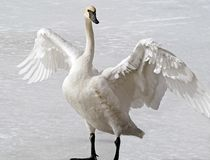 Wild Trumpeter Swan standing on frozen pond stretching its huge wings. The Trumpeter is known for its distinctive black beak and Stock Photos