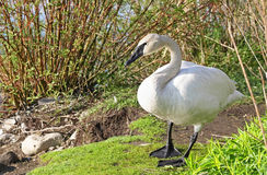 Wild Trumpeter Swan standing in natural habitat Royalty Free Stock Photography