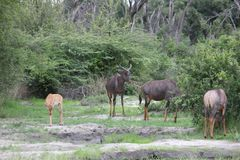 Wild Tsessebe Antelope in African Botswana savannah Stock Image