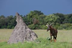 Wild Tsessebe Antelope in African Botswana savannah Royalty Free Stock Image